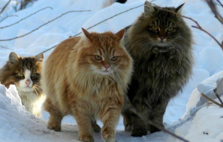 Phải chăng loài mèo đã cùng với người Viking đi chinh phục thế giới?