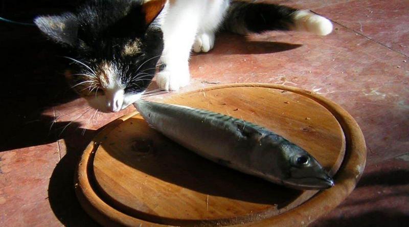 thức ăn cho mèo con